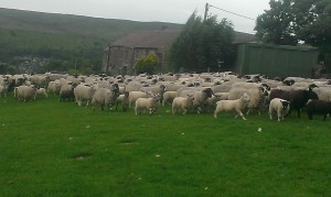 Lonk ewes with texel cross lambs at foot approx 3 months old