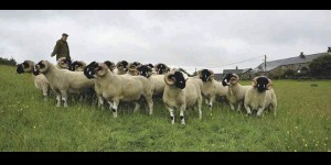 Chris Crowther's shearling tups to be featured in an August 2013 farmers Guardian. Watch this space.
