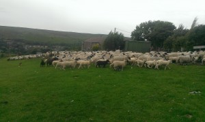 Some more lonk ewes with some pure and some texel cross lambs at foot